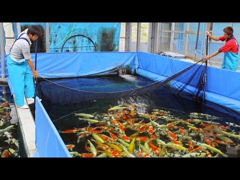 What Is It Like To Buy Koi In Japan?