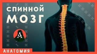 Строение и функции спинного мозга. Урок биологии №84.