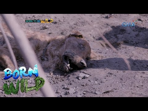Born To Be Wild: 'Born To Be Wild' Vets Respond To The Animals Affected By Taal Volcano Eruption