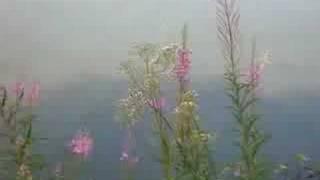 les épilobes au bord du lac de Neufchâteau