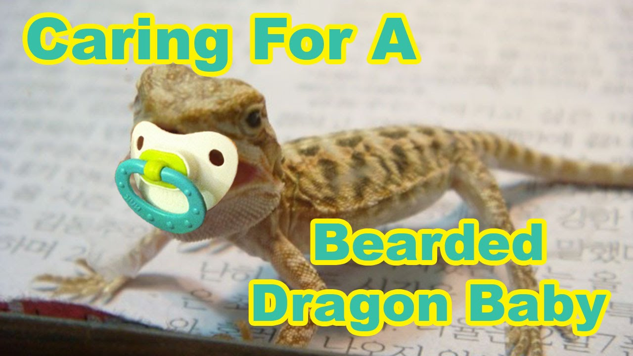 Baby Bearded Dragon Food