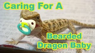 Bearded Dragon Baby Secrets: Caring For Your Baby Bearded Dragon