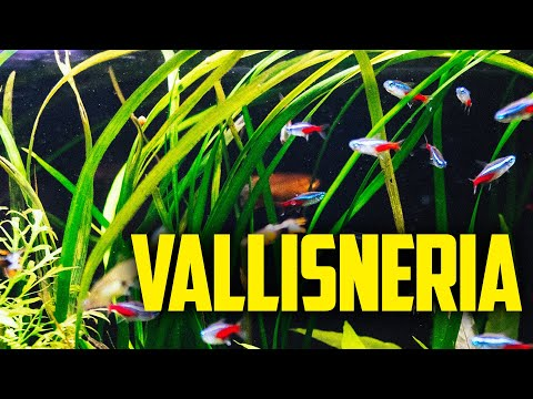 How to Care for Vallisneria. Low light easy plants. Val is a favorite!