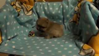 Pomeranian Zwergspitz Welpen . !!!  Rüde! 5 Wochen Alt