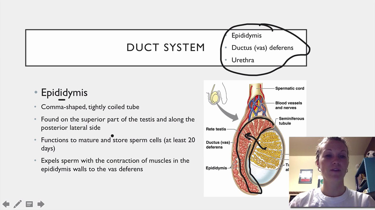 044 Male Duct System Youtube