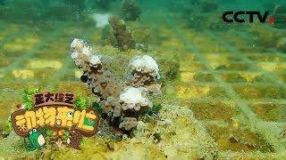 [正大综艺·动物来啦]鹿角珊瑚种植区域的选择有什么要求| CCTV