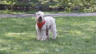 Joy, a very sweet bright male wheaten terrier, enjoying the breeze,...