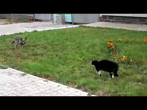 Cat vs Dog Duel