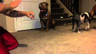 Dogue De Bordeaux Training To Attack