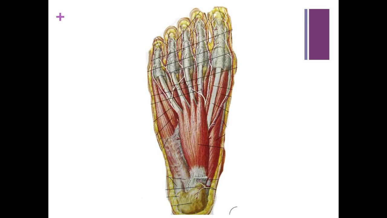 Plantar Fascia Anatomy - YouTube