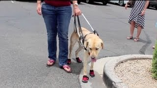 Puppy In Training Tv - Ep21 - Working Guide Dog