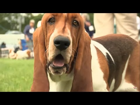 Basset Hounds  Bests of Breed
