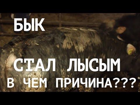 Вопрос: Чем лечить лишай у коров?