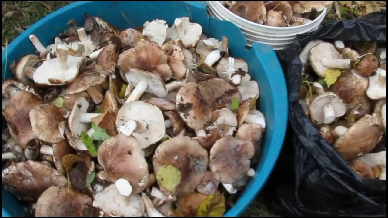 гриб рядовка серая приготовление