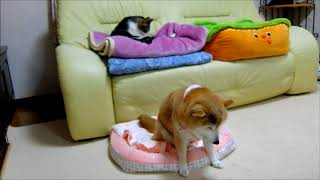 Cats trying to gently bring up the Shiba Inu and Shiba Inui that ca...