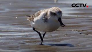 广西:极危珍稀鸟种勺嘴鹬再现防城港 |《中国新闻》CCTV中文国际 - YouTube