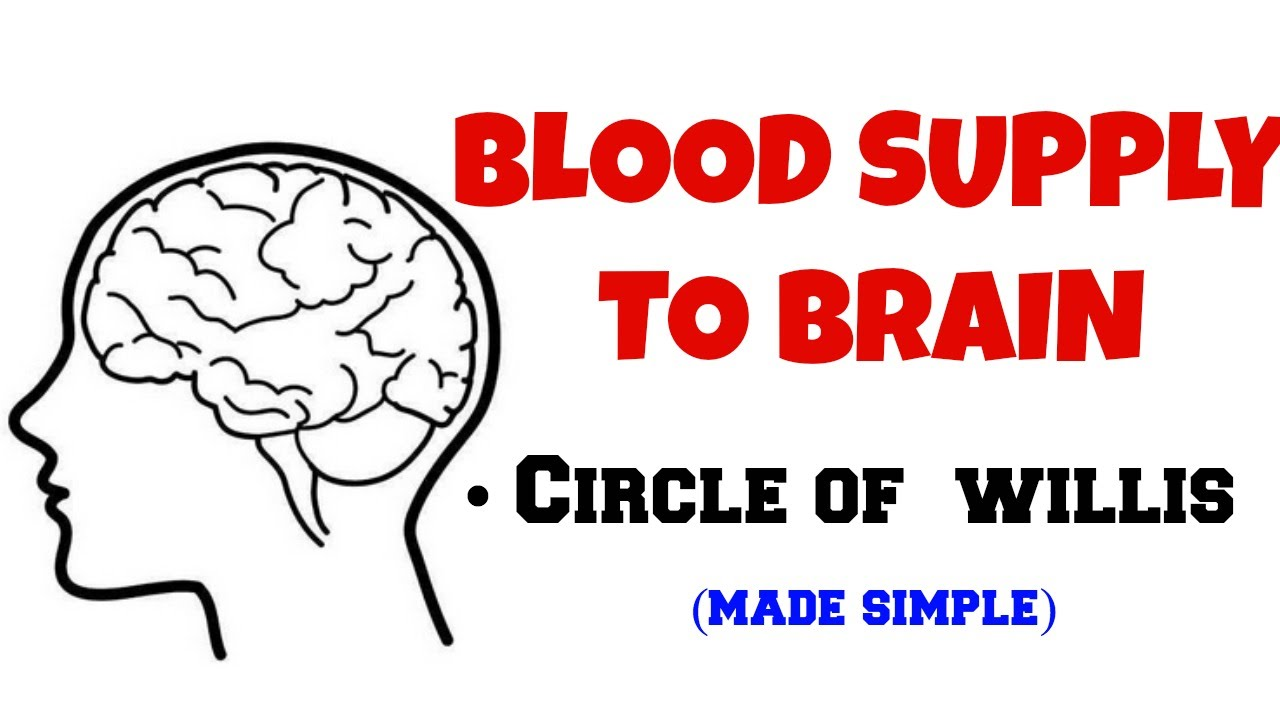BLOOD SUPPLY TO BRAIN, CIRCLE OF WILLIS. - YouTube