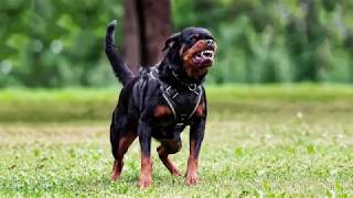 Rottweiler guard barks - DOG BARKING Sound Effect High Quality