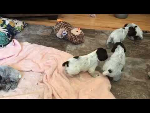 Ruffled Feathers Kennel Christmas 2017 puppies free playing