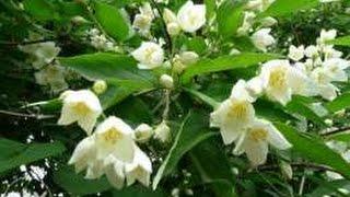 jasmine care, ingrijirea iasomiei,