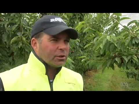 Video 0:54          Tasmanian cherry growers count cost of deluge