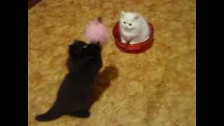 самые красивые персидские котята!