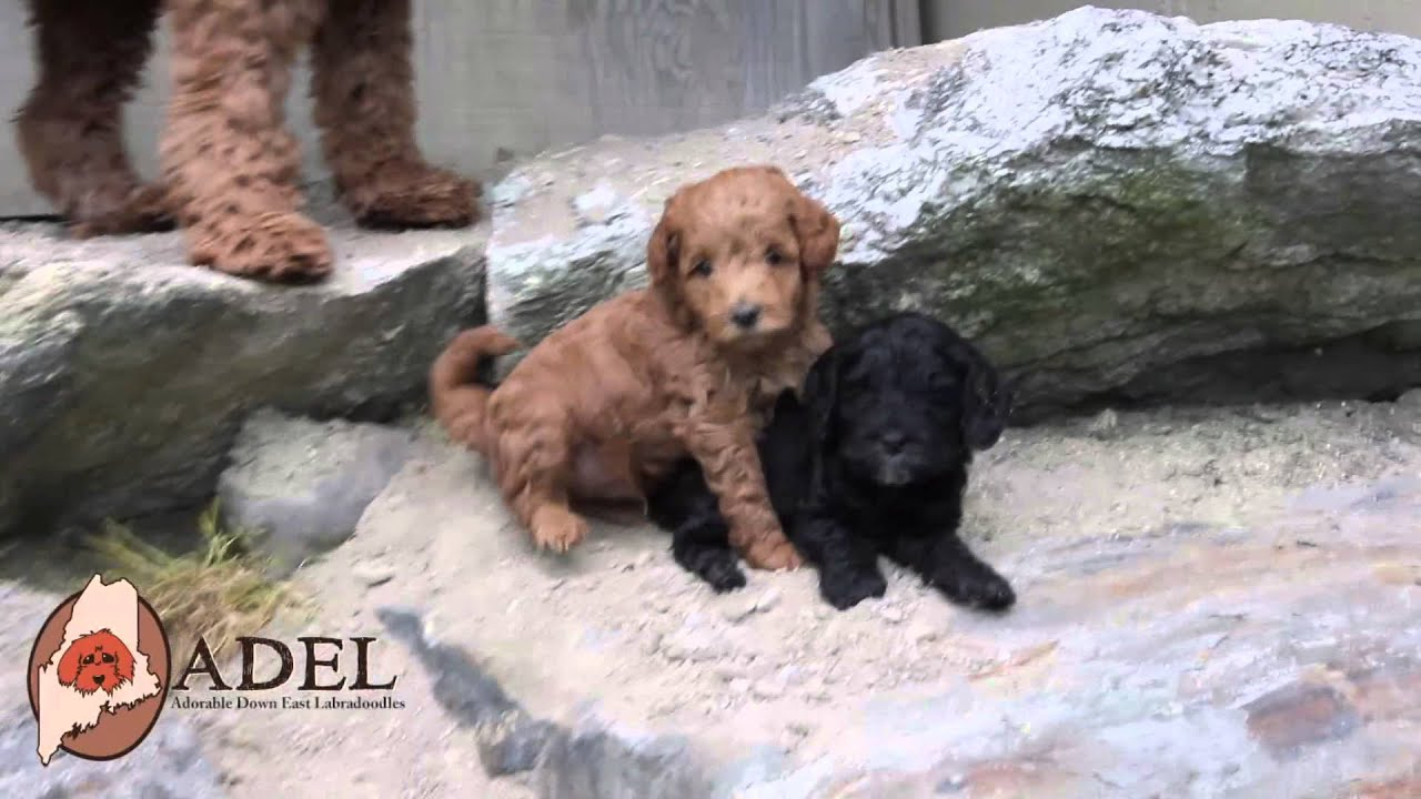 Mini labradoodle puppies at Adorable Down East Labradoodles!