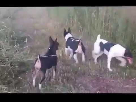Rat Terrier Hunting Video