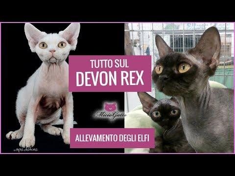 Devon Rex: carattere, aspetto e prezzo raccontati dall'allevamento degli Elfi e i suoi cuccioli