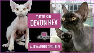 Devon Rex: character, appearance and price told by the breeding of the Elves and her puppies