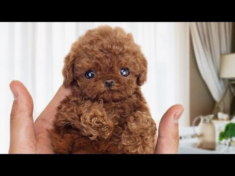 Funny and Cute Poodle Compilation NEW