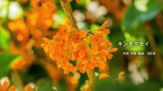 キンモクセイ/作詞・作曲 BEB ©copyright BEB(Kazuko Matsumoto).All r...