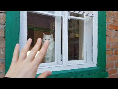 Super funny Turkish angora - funny cat videos