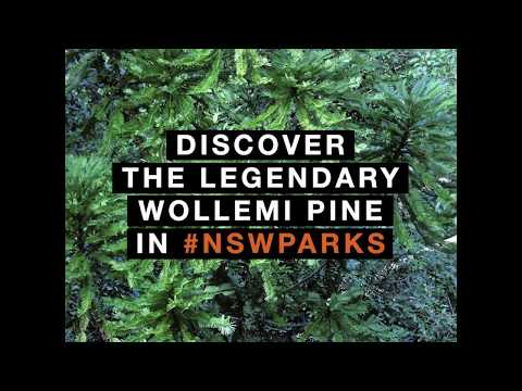 Inside the fight to save Australia's precious 'dinosaur trees' - Lonely Planet