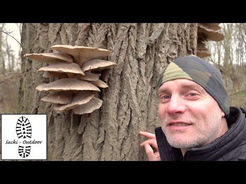 Pilze: Austernseitling (Schnitzel des Waldes)