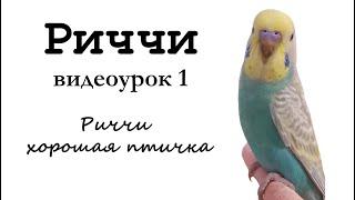 """Учим попугая по имени Риччи говорить. Видеоурок 1:""""Риччи хорошая птичка"""""""