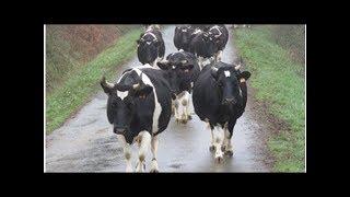 Les sanctions américaines contre l'Iran gèlent l'envoi de vaches normandes à Téhéran