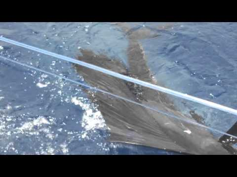 Utila Billfish Tournament