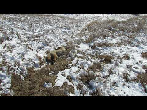 Trapping Snared Wyoming Coyote