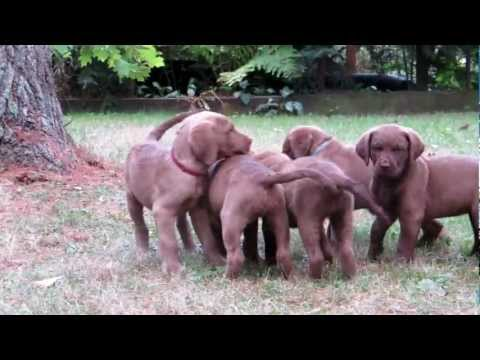Chesapeake Bay Retriever puppies with heart at 8 weeks at Chesamo Chesapeakes.MOV
