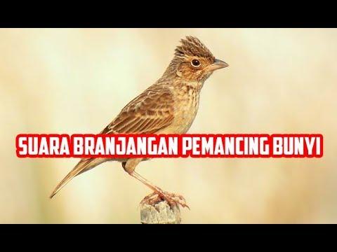 Audio Suara Burung Branjangan Gacor Memancing bunyi