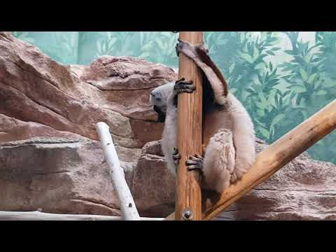Coquerel's sifaka in indoor enclosure