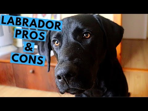 Labrador Retriever Pros and Cons