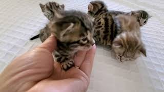 Two and a half week old bengal kittens have opened their eyes! 😺💓