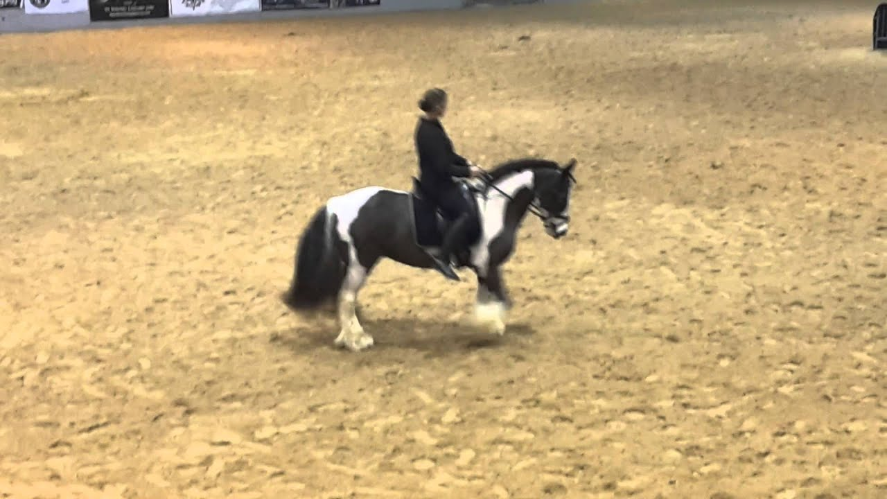Kuchi:First Gypsy Vanner born in the US