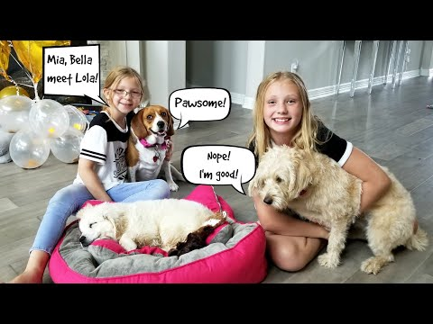 Our Dogs Meet Lola The Golden Retriever Puppy! ***The Cutest Thing Ever***