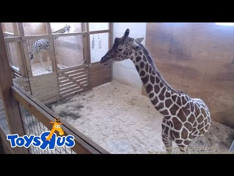 Animal Adventure Park's April the Giraffe – Live Birth – Archive footage