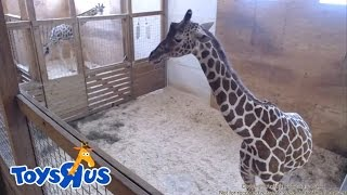Animal Adventure Park\'s April the Giraffe - Live Birth - Archive footage