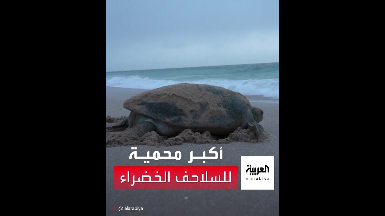 شاهد.. أكبر محمية للسلاحف الخضراء على مستوى المحيط الهندي بـ -رأس الحد- في سلطنة عمان