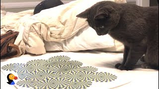 Cat vs Optical Illusion | The Dodo